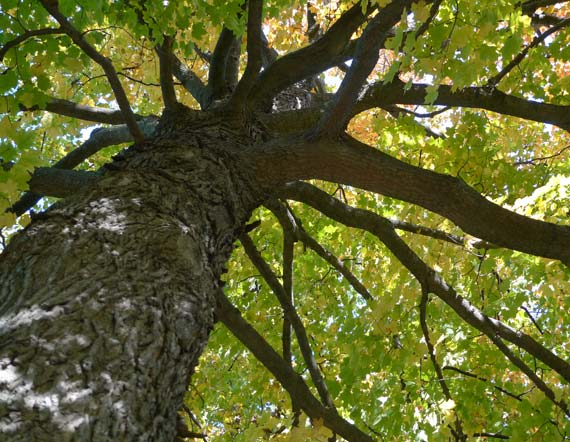view under a maple tree, looking up along its trunk